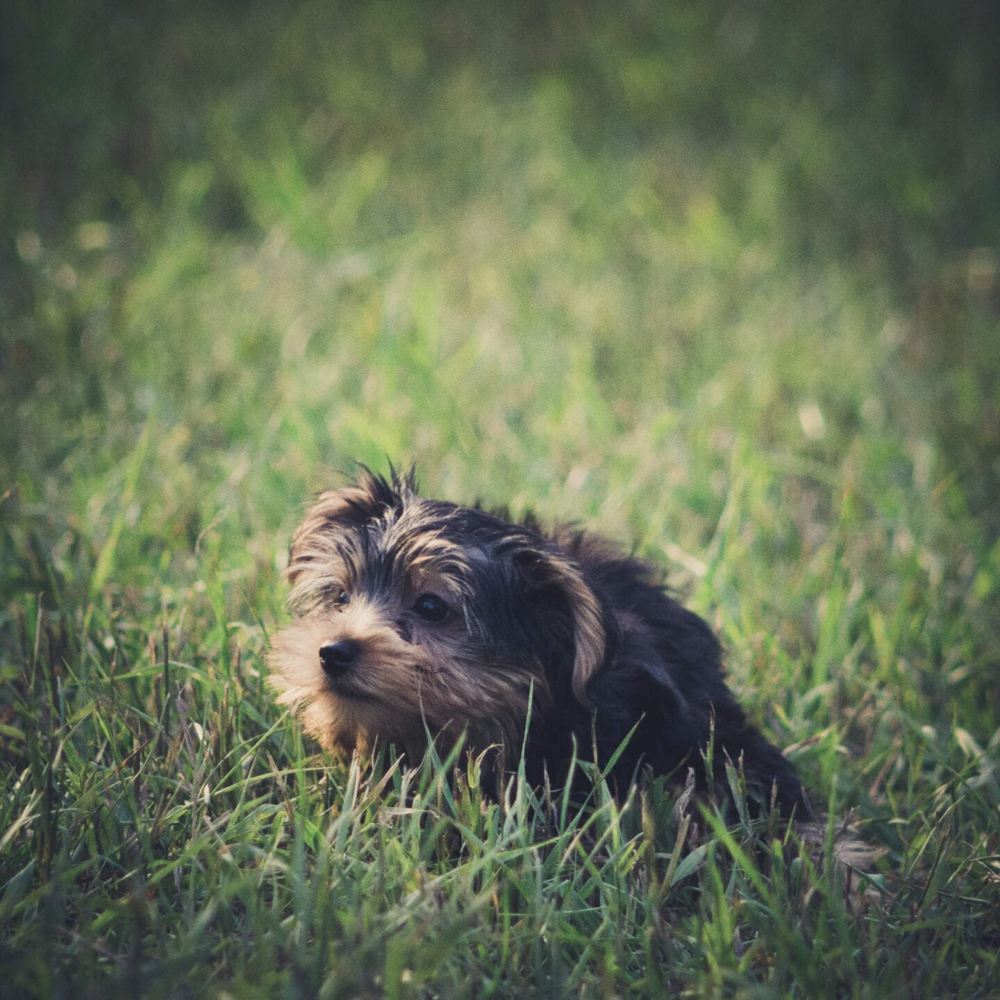 This Yorkie has never landed his feet on grass and is definitely confused!