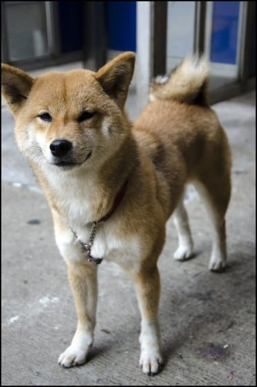A Shiba Inu standing on a street leashed to a telephone booth in Hong Kong, Aberdeen.
